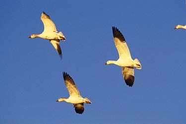Snow geese (Chen caerulescens) in flight, Bosque del Apache, New Mexico, USA