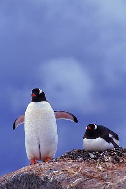 Gentoo Penguin pair. Antarctica