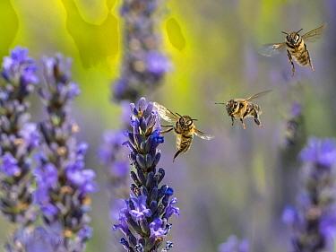 Honeybee worker (Apis mellifera) feeding on garden lavender, England, UK, July. Digital compostie.