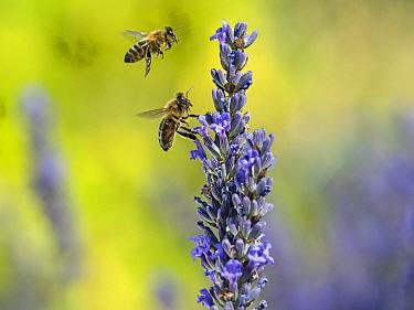 Honeybee worker (Apis mellifera) feeding on garden lavender, England, UK, July. Digital composite.