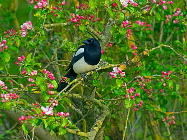 Magpie (Pica pica) perched in Apple tree (Malus sp) Titchwell, Norfolk, England, UK. May.