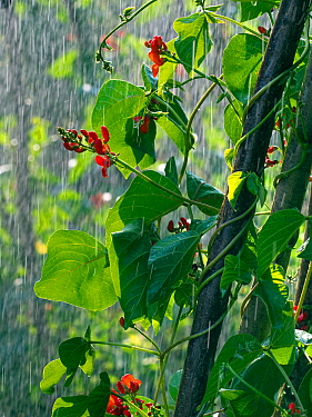 Red runner bean flowers 'Scarlet Emperor' in rain shower in vegetable garden.
