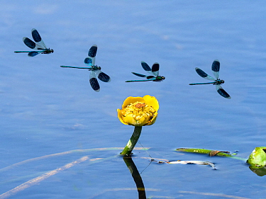 Banded Demoiselle (Calopteryx splendens) flight sequence over Yellow water lily (Nuphar lutea) River Wensum, Norfolk, England, UK, July. Digital composite.