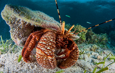 Caribbean hermit crab (Coenobita clypeatus) using an empty conch shell for protection and housing. Eleuthera, Bahamas.