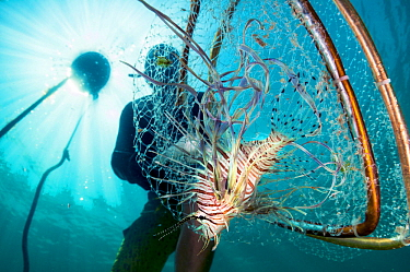 Invasive Lionfish (Pterois volitans) is caught as part of an effort to help coral reefs adapt to this new predator. Abaco, Bahamas.