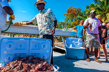 Lionfish derby, a competition to catch invasive Lionfish (Pterois volitans). One team caught 466 lionfish in a single day during the Green Turtle Cay, Bahamas, June 2016