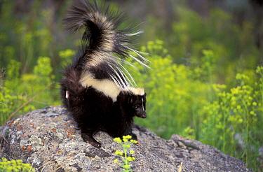 Side profile of Striped skunk, tail raised {Mephitis mephitis} captive, USA