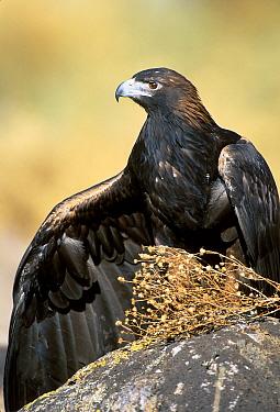 Golden eagle at rehab centre {Aquila chrysaetos} Hawks aloft Albuquerque, NM, USA