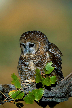 Mexican spotted owl {Strix occidentalis lucida}  raptor, NM, USA