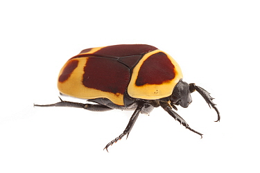 Sun beetle (Pachnoda marginata peregrina) photographed on a white background. Captive, originating from west and central Africa.