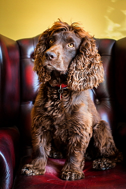 Chocolate working cocker spaniel in Chesterfield armchair, Winchester, Hampshire, UK