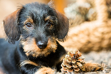 Two month old wirehaird daschund puppy with fir cone, Wiltshire, UK
