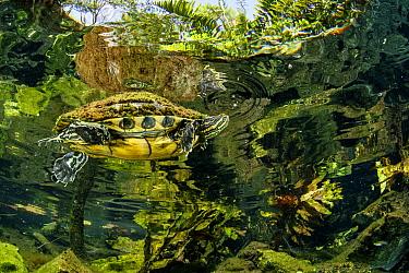 Freshwater turtle (Trachemys scripta venusta) swimming in Gran Cenote, near Tulum, Quintana Roo, Yucatan Peninsula, Mexico.