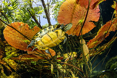 Freshwater turtle (Trachemys scripta venusta) swimming under Water lilies leaves, Gran Cenote, Tulum, Quintana Roo, Yucatan Peninsula, Mexico.