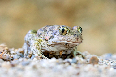 Eastern Spadefoot Toad (Pelobates syriacus), Krena gorge area, South West Bulgaria , April