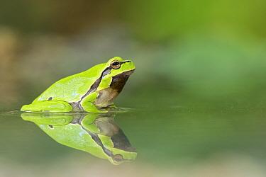 Common tree frog (Hyla arborea), Kresna gorge area, South West Bulgaria, April