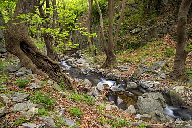 Landscape of mountain stream flowing through very old forests in Kresna gorge. This mountain stream eventually flows into the Struma river. In these forests Oriental plane trees (Platanus orientalis)...