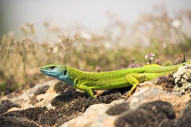 Eastern Green Lizard (Lacerta viridis), Kresna Gorge, South West Bulgaria, April