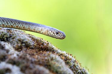 Caspian Whip Snake (Dolichopis caspius), Kresna Gorge, South West Bulgaria, April