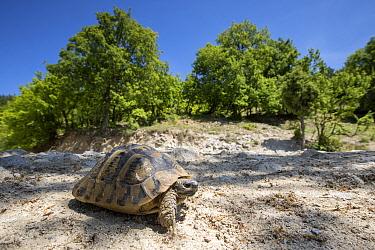 Hermann's Tortoise (Testudo Hermanni) in its landscape, Kresna Gorge, South West Bulgaria, April