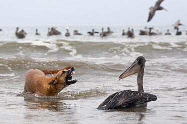 Brown Pelican (Pelecanus occidentalis) beiing attacked by a stray dog on the beach, Puerto Lopez , Santa Elena Peninsula, Manabi Province, Ecuador, July