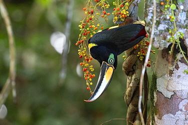 Many-banded aracari (Pteroglossus pluricinctus) Cuyabeno wildlife reserve, Sucumbios, Amazon rainforest, Ecuador. July