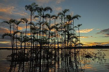 Moriche plam tree (Mauritia flexuosa) at Laguna Grande in an area of flooded forest, Cuyabeno wildlife reserve, Sucumbios, Amazon rainforest, Ecuador, July, Cuyabeno wildlife reserve, Sucumbios, Amazo...