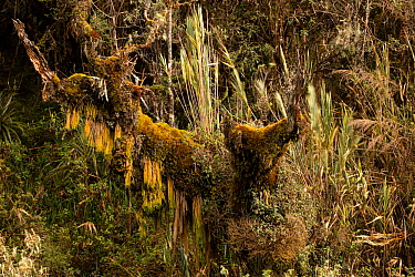Centuries old trees in a cloud forest patch at high altitude , Cayambe Coca National Park, Papallacta, High Andes, Ecuador, July