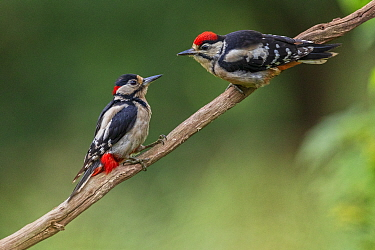 Great Spotted Woodpecker (Dendrocopos major) adult male feeding young, Oisterwijk, The Netherlands, June