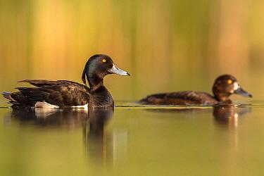Tufted duck (Aythya fuligula) male and female, Valkenhorst Nature reserve, Valkenswaard, The Netherlands, May