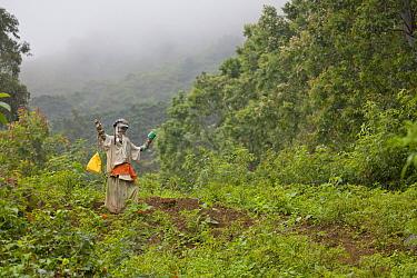 Scarecrow in tea plantation, The Knuckles range, Sri Lanka.