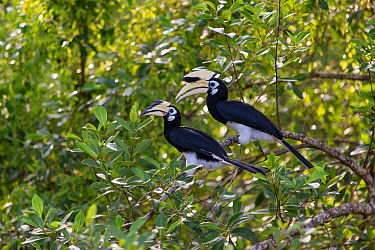 Oriental pied hornbill (Anthracoceros albirostris) Sabah, Malaysia
