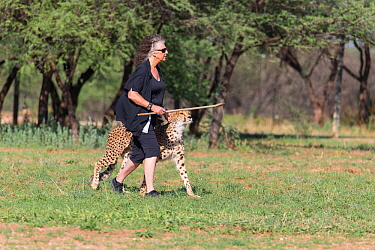 Laurie Marker, Director of the Cheetah Conservation Fund, with ambassador Cheetah (Acinonyx jubatus) Cheetah Conservation Fund, Namibia 2013