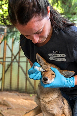 Wildlife Rehabilitator, Jessie Paolello, administering eye medication to orphaned pup Coyote (Canis latrans) Sarvey Wildlife Care Center, Arlington, Washington, USA, June.