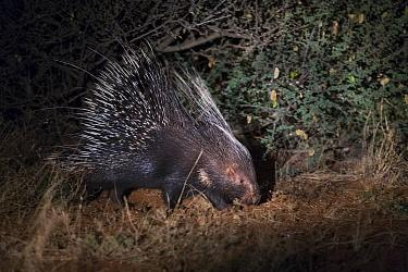 Cape porcupine (Hystrix africaeaustralis) Kalahari Desert, South Africa