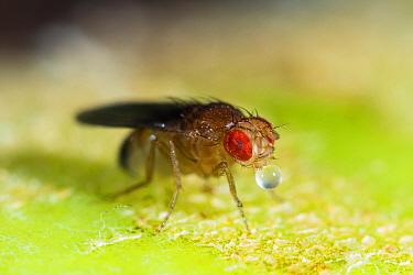 Fruit fly (Drosophila melanogaster) male, Germany, August.