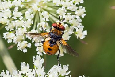Fly (Gymnosoma rotundatum) Bavaria, Germany. June.