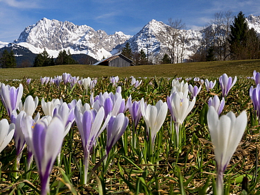 Crocus (Crocus vernus) flowering in Upper Bavaria with Karwendel mountains in distance, Germany, April.