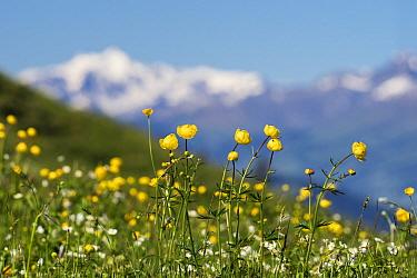 Globe flowers (Trollius europaeus) on Augstmatthorn mountain, Swiss Alps, Switzerland. June 2017.