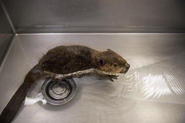 North American beaver (Castor canadensis), orphaned kit swimming in sink. Lindsay Wildlife Experience, Walnut Creek, Contra Costa County, California, USA. September 2015. Captive. Digitally enhanced.