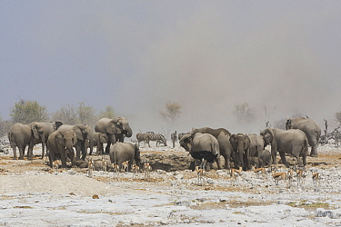 African elephant (Loxodonta africana) herd at dusty waterhole during dry season with Springbok (Antidorcas marsupialis) and Plains zebra (Equus quagga). Etosha National Park, Namibia.