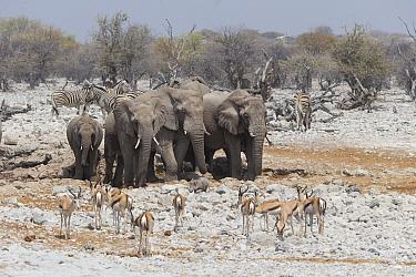 African elephant (Loxodonta africana) herd at waterhole during dry season with Springbok (Antidorcas marsupialis), Plains zebra (Equus quagga) and Warthog (Phacochoerus africanus). Etosha National Par...