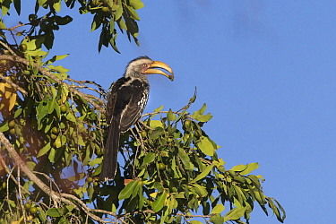 Yellow-billed hornbill (Tockus flavirostris) perched in tree with food in beak. Sabi Sands Game Reserve, South Africa.