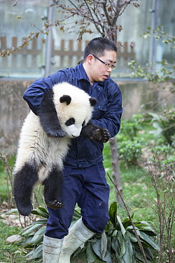 Keeper carrying Giant panda (Ailuropoda melanoleuca) cub.~Chengdu Research Base of Giant Panda Breeding, Chengdu, Sichuan, China. 2012. Captive.