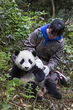 Keeper examining Giant panda (Ailuropoda melanoleuca) cub.~Bifengxia Base, China Conservation and Research Center for the Giant Panda, Ya'an, Sichuan, China. 2012. Captive.