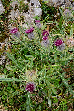 Woolly thistle (Cirsium eriophorum subsp. chodatii) flowering on mountain slopes among limestone rocks, Covadonga, Picos de Europa, Asturias, Spain, August.