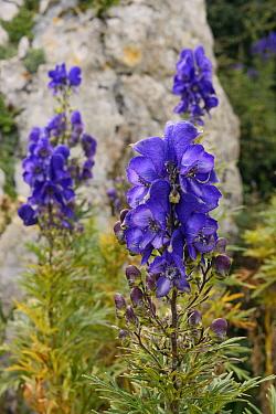 Monkshood (Aconitum napellus) flowering among limestone rocks on montane pastureland, Covadonga, Picos de Europa, Asturias, Spain, August.