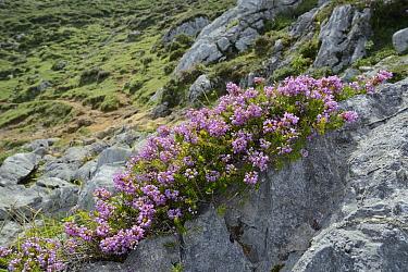 Cornish heath (Erica vagans) clump flowering among limestone rocks on montane pastureland, above the Lakes of Covadonga, at 1300m, Picos de Europa, Asturias, Spain, August.