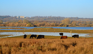 Dexter cattle (Bos taurus) grazing the grassy margins of Rutland Water reservoir with Burley-On-The-Hill House in the background, Rutland, UK, November.