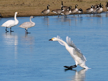 Bewick's swan (Cygnus columbiana bewickii) sliding on ice as it lands on a frozen marshland pool with other swans and Canada geese (Branta canadensis) in the background, Gloucestershire, UK, Febru...